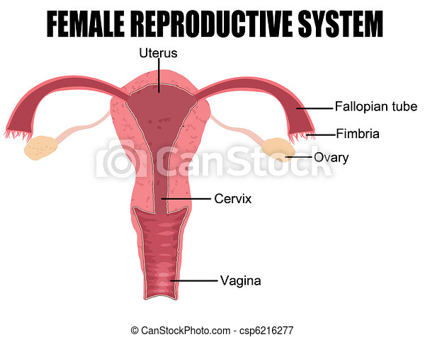 Female Reproductive System - csp6216277