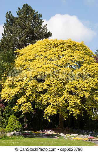 bilder von baum gelber ahorn a yellow maple tree. Black Bedroom Furniture Sets. Home Design Ideas