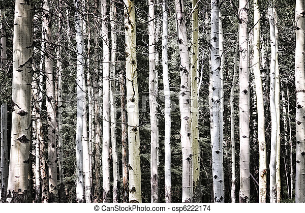 Aspen tree trunks - csp6222174
