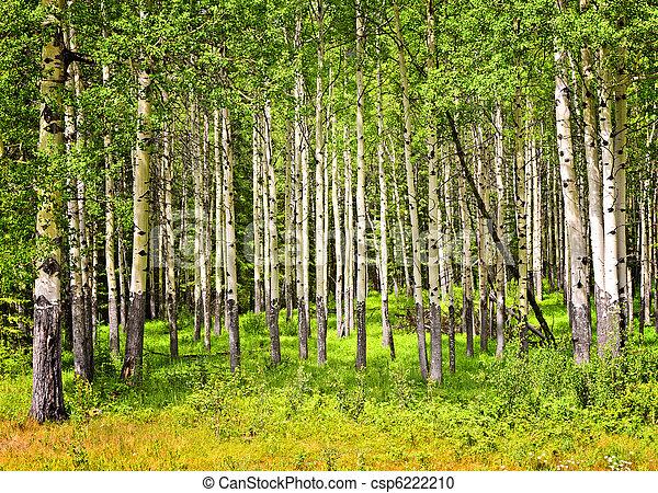Aspen trees in Banff National park - csp6222210