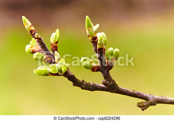 Cherry flowers and buds, macro - csp6224296