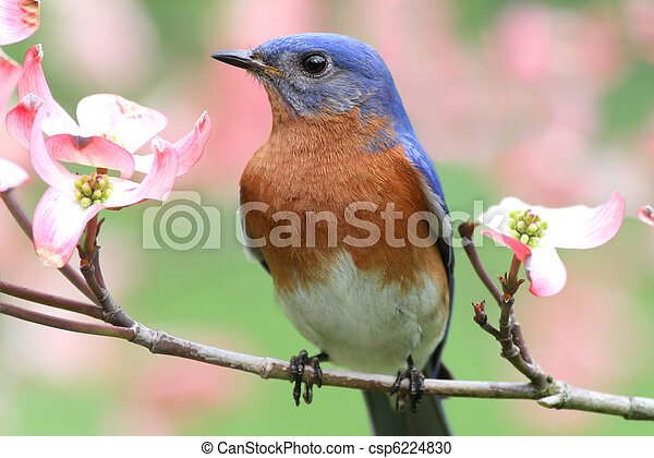 Eastern Bluebird - csp6224830