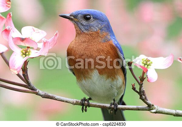 Eastern Bluebird - csp6224830