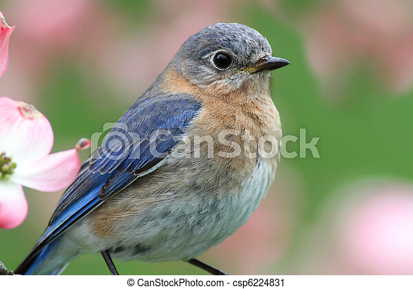 Eastern Bluebird - csp6224831
