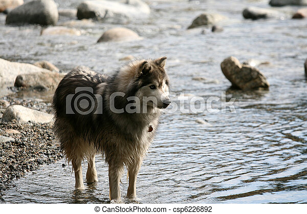 Husky Dog in River Gorge at Lynn Canyon, Vancouver, Canada - csp6226892