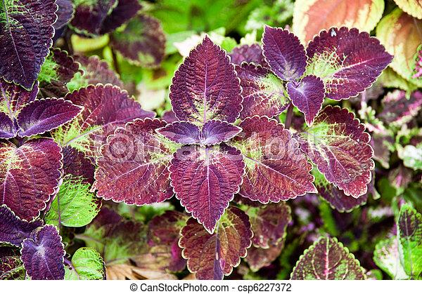 Coleus Solenostemon scutellarioides - csp6227372