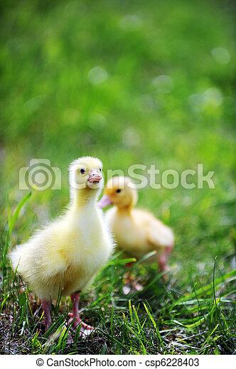 two fluffy chicks