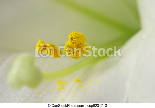 Macro of Stamen and Pollen (lilium longiflorum) - csp6231713