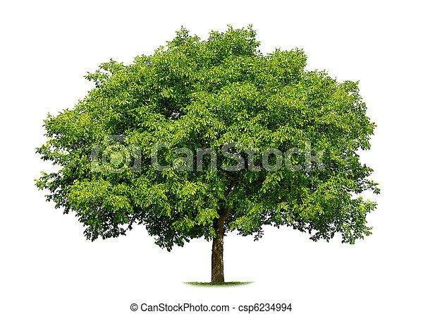 Beautiful deciduous tree on white - csp6234994