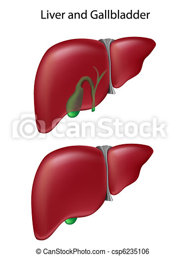 Liver and gallbladder - csp6235106
