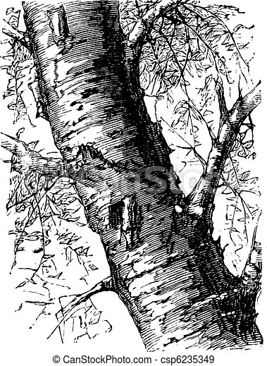 White Birch or Betula papyrifera, tree, trunk, vintage engraving. - csp6235349