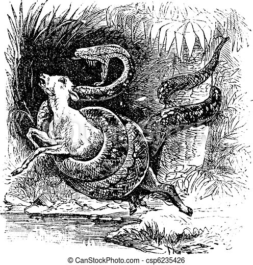 Boa constrictor, snake, vintage engraving. - csp6235426