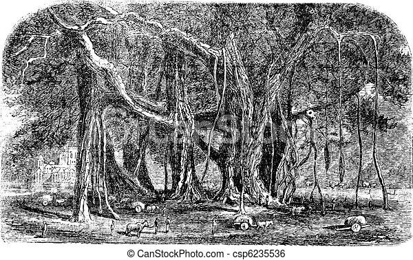 Banyan or Ficus benghalensis, vintage engraving. - csp6235536