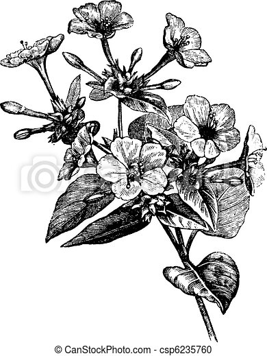 Four o' Clock Flower vintage engraving - csp6235760