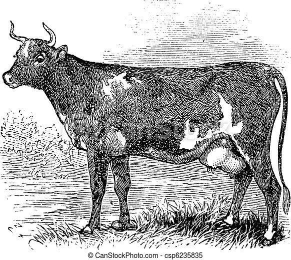 Ayrshire or Cunningham, Cattle, vintage engraving. - csp6235835