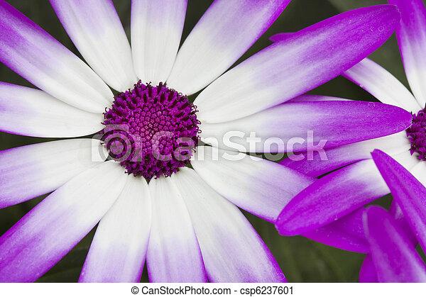 Spring flowering Senetti flowers macro shot - csp6237601