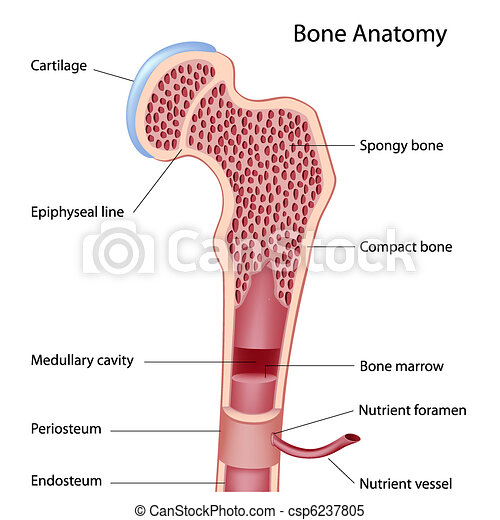 Bone structure - csp6237805