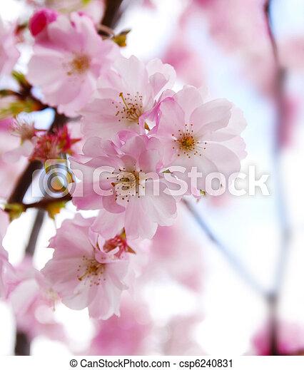 japanese cherry blossom  - csp6240831