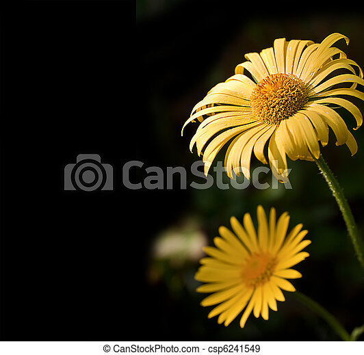 Yellow flowers in close-up on a black background