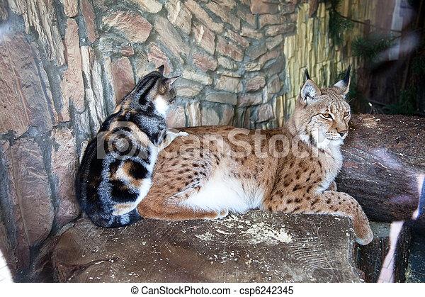 amistad, gato, lince - csp6242345