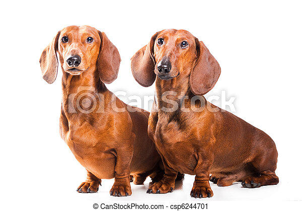 Two Dachshund Dogs isolated over white background - csp6244701