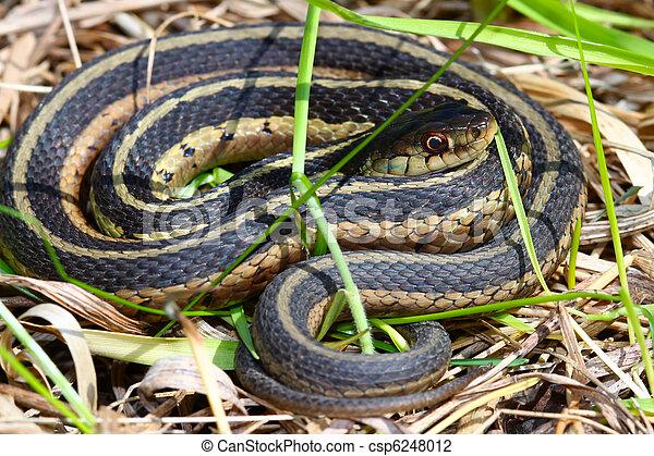 Garter Snake (Thamnophis sirtalis) - csp6248012