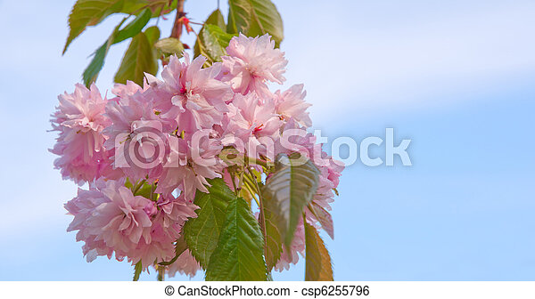 Blossoming Tree / Prunus serrulata