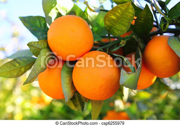 branch orange tree fruits green leaves in Spain - csp6255979