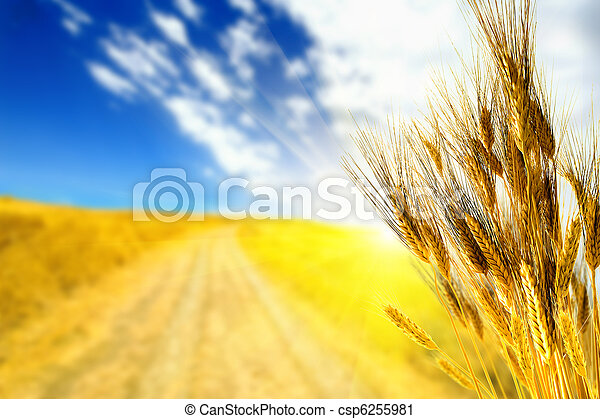 Wheat yellow field - csp6255981