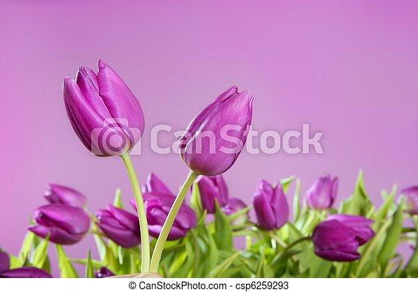 tulips pink flowers pink studio shot - csp6259293