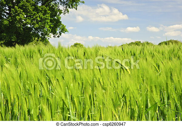 Beautiful image of agricultural field growing corn with single oak tree and vivid blue sky background - csp6260947