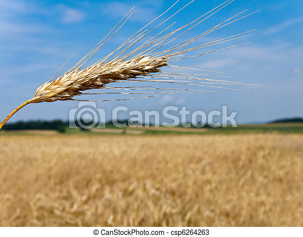 Wheatfield with barley spike - csp6264263