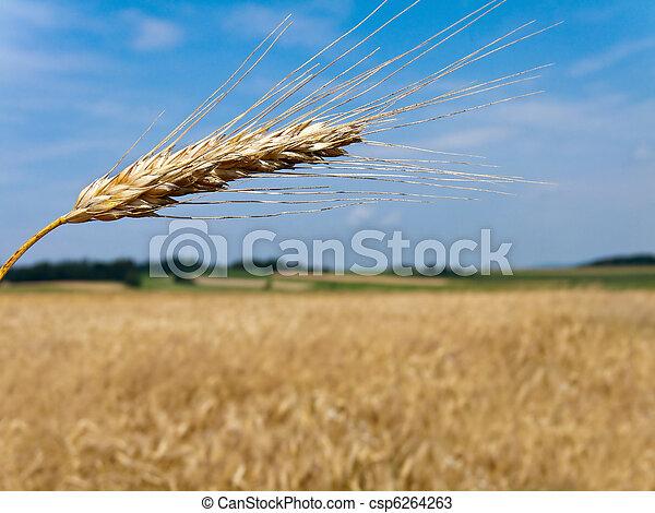 Wheatfield with barley spike - csp6264263