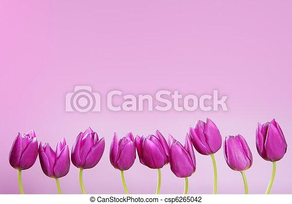 pink tulips flowers in a row group line arrangement - csp6265042
