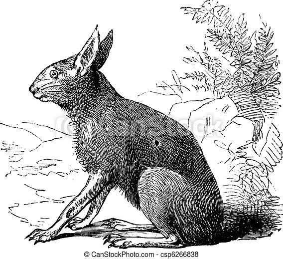 Patagonian Mara or Dolichotis patagonum, rodent, vintage engraving. - csp6266838