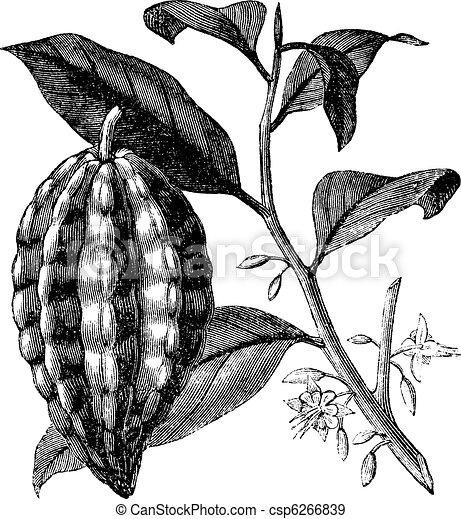 Cacao tree also known as Theobroma cacao, leaves, fruit, vintage engraved illustration of Cacao tree, leaves and fruit isolated against a white background. - csp6266839