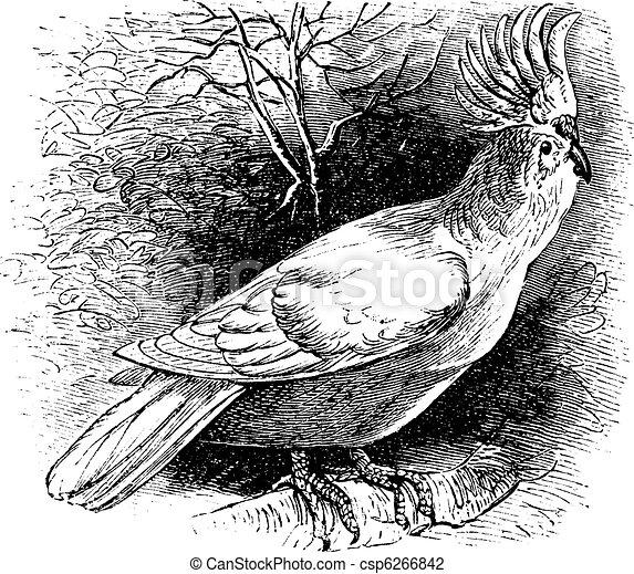 Major Mitchell's Cockatoo or Lophochroa leadbeateri, Cockatoo, vintage engraving. - csp6266842