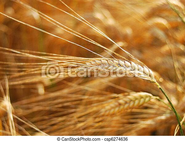 barley - csp6274636