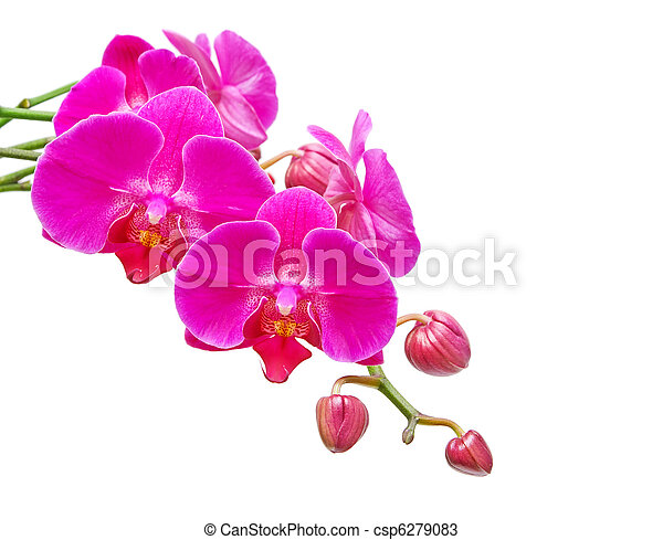 Orchid. Branch of the orchid flowers and buds of flowers on a white background. - csp6279083