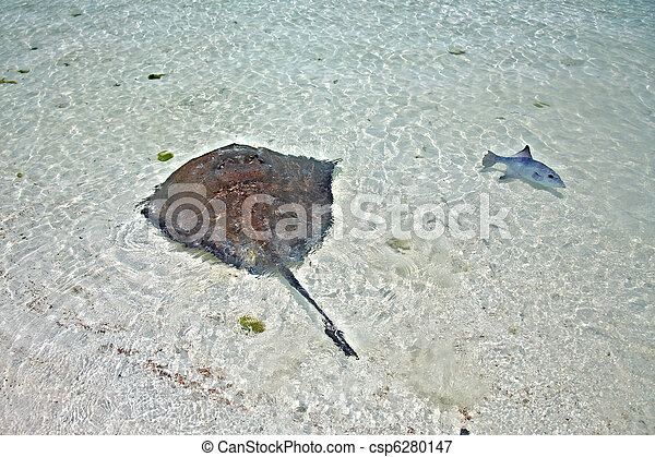 stingray and triggerfish in a shallow water - csp6280147