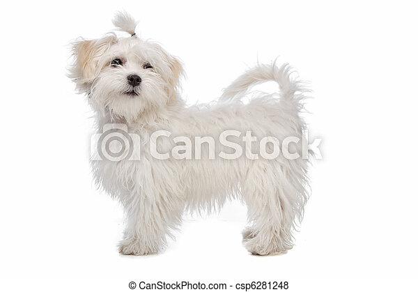 bianco, maltese, cane - csp6281248