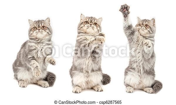 Exotic short-haired kitten. - csp6287565