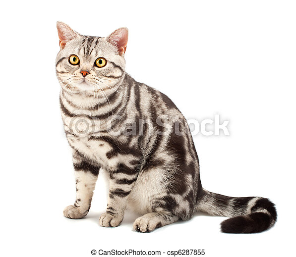 American Shorthair cat - csp6287855