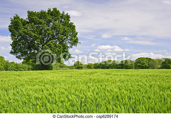 Beautiful image of agricultural field growing corn with single oak tree and vivid blue sky background - csp6289174