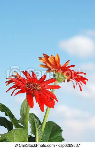 Gerbera daisy plant and flowers  - csp6289887