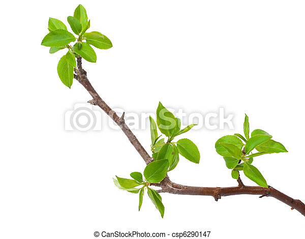 Branch apple tree with spring buds isolated on white - csp6290147