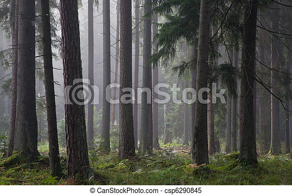 Coniferous trees against light of misty sunrise - csp6290845