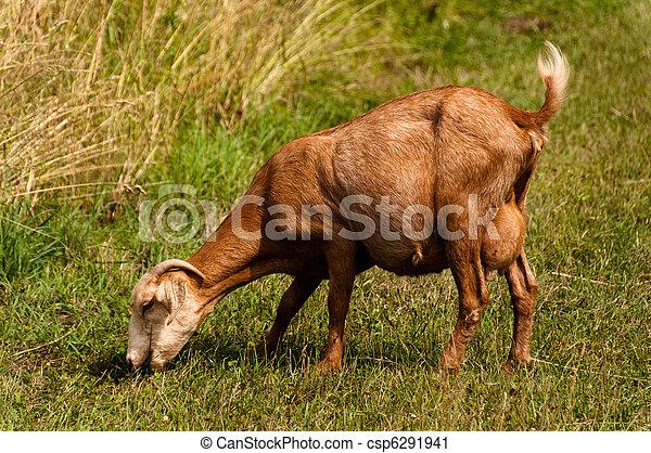 Billy goat - csp6291941