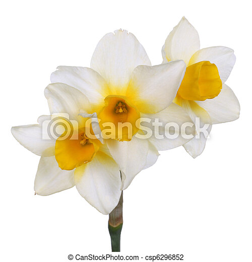 Single stem with three yellow-cupped white jonquil flowers - csp6296852