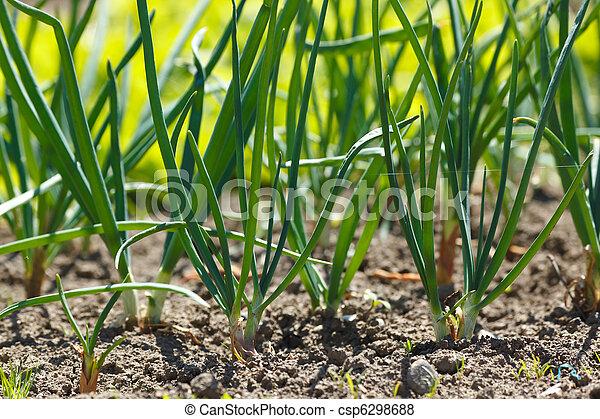 Onions in vegetable garden - csp6298688